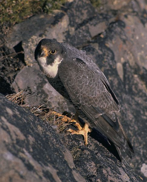 The Peregrine Falcon is a major predator of racing pigeons.